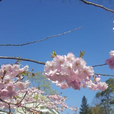 pinkkejä kukkia