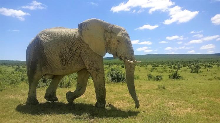 Addo Elephant Park, SA, Norsu lähikuvassa