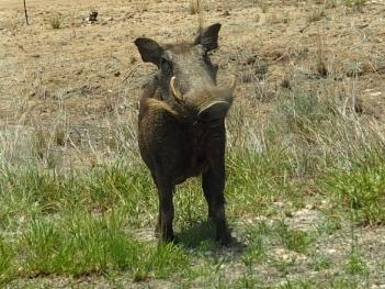 Pahkasika - Warthog