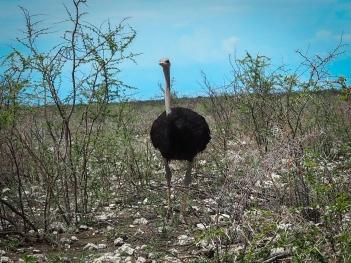 Strutsi - Ostrich