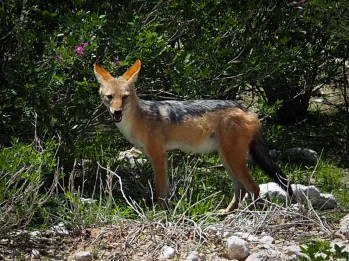 Juovasakaali - Black-backed jackal